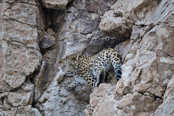 Oshtornakouh; a safe refuge for Persian Leopard