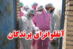 پایش۶مرغداری در ری/یک میلیون قطعه مرغ آلوده به آنفلوآنزا معدوم شد