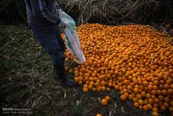 صادرات پرتقال به رودخانه و دریا/ خزان مرکبات در راه است