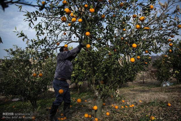 خسارت برف به باغات مرکبات در مازندران
