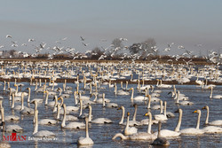 Sorkhrud wetland hosts thousands of migratory birds