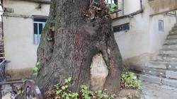 ۴ درخت کهنسال استان مرکزی در فهرست میراث ملی کشور ثبت شد