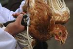 ۲کانون آلوده به آنفلوانزای فوق حاد پرندگان در حال معدوم سازی است