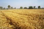 ۱۱ هزارتن گندم آبی ودیم در چهارمحال و بختیاری بوجاری شد