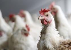 موردی از بیماری آنفلوآنزا پرندگان در ورامین مشاهده نشده است