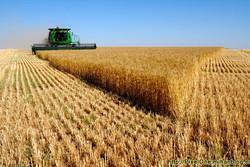 ۲۷ هزار تن گندم و۲۰تن کلزا از کشاورزان استان بوشهر خریداری شد