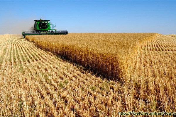 البرز در تولید گندم باکیفیت رتبه نخست کشوری را دارد