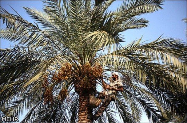 کارگاه آموزشی آفات چوبخوار خرما در تنگستان برگزار شد
