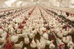إيران تستأنف عملية تصدير الدجاج الى العراق وافغانستان ومستعدة لتموين قطر بذلك