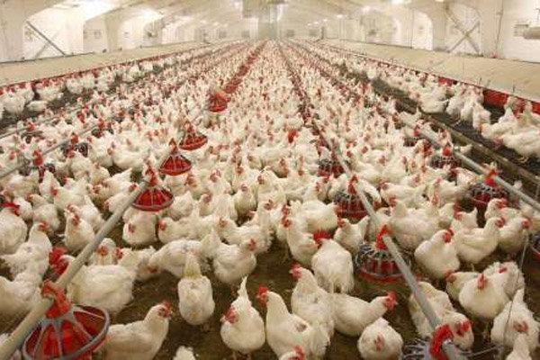 افتتاح مرکز پرورش مرغ گوشتی در منطقه «گندک» دماوند