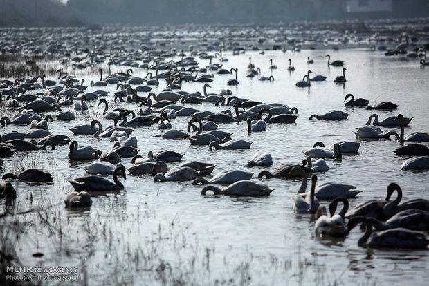 Fereydounkenar hosting migrant Siberian geese