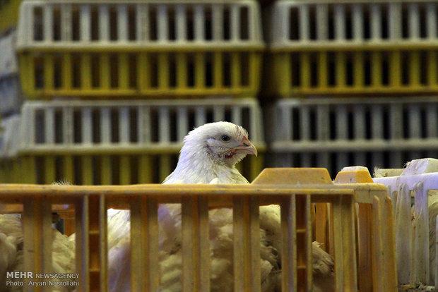 افزایش ۳۰ درصدی قیمت جوجه یکروزه و دان/قیمت مرغ به۸۳۵۰تومان رسید