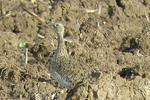 پهنه مغان پناهگاه پرنده روس/ «زنگوله بال» در معرض تهدید است