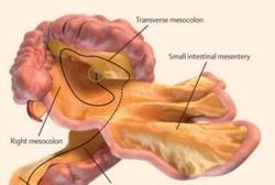 شناسایی یک عضو جدید در سیستم گوارش بدن