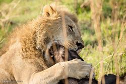 حمله شیرها به بوفالو