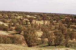 ۲۵۰میلیون تومان چوب تاغ قاچاق در دامغان کشف شد