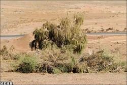 کاشت نهال تاغ در ۱۰۰ هکتار از اراضی بیابانی شهرستان آرادان