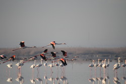 حضور پرندگان مهاحر و حیات وحش در میانکاله - حر منصوری