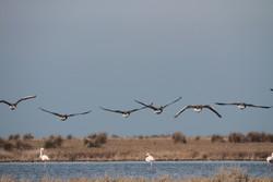 تعداد تلفات پرندگان مهاجر در میانکاله به ۵ هزار قطعه می رسد/احتمال مسمومیت با سم بوتولیسم