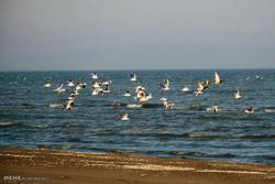 Astara'nın gölcüklerine kuşların göçü
