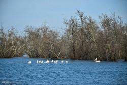 پرندگان مهاجر در تالاب ها و سواحل شهرستان مرزی آستارا