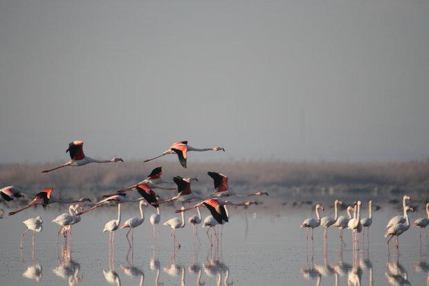 کاهش شمار پرندگان در ذخیرگاه میانکاله