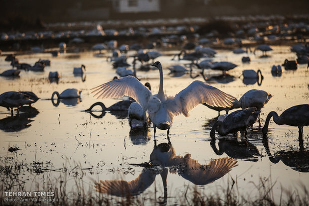 Siberian swans wing their way to paddy fields of northern Iran