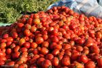۷۵ درصد از مزارع گوجهفرنگی کشور تحت آبیاری میکرو قرار دارد