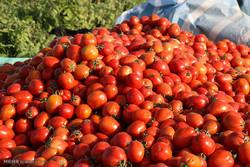 برداشت گوجه فرنگی در مزارع هشت بندی هرمزگان