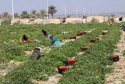 برداشت گوجه فرنگی در استان بوشهر آغاز شد