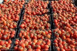 قیمت گوجه فرنگی نصف شد/سیب زمینی ۵روز دیگر ارزان میشود
