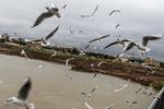 Karun River home to fish-eating birds