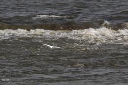 پرندگان ماهی خوار کارون