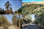 نخلستانهای استان بوشهر ظرفیتی کمنظیر در حوزه گردشگری است