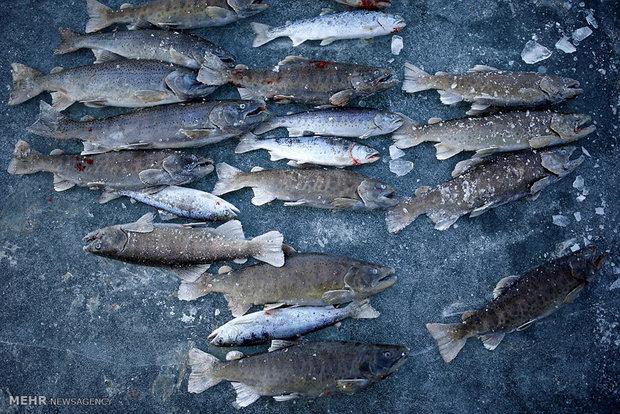 سرانه مصرف ماهی در سطح استان زنجان ۶.۵  کیلو گرم است