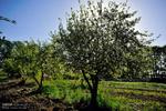 سایه تغییر کاربری روی باغ سیب کرج/آیا باغ ملی میماند؟