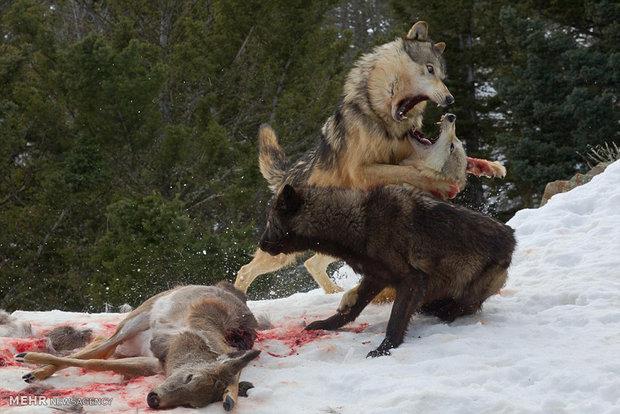 مبارزه خرس با گرگ ها