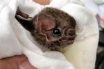 تغذیه خفاش های برزیلی از خون انسان