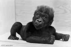 مرگ اولین گوریل متولد شده در قفس