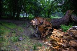 قطع درختان ۲۰ ساله در یکی از روستاهای سیرجان
