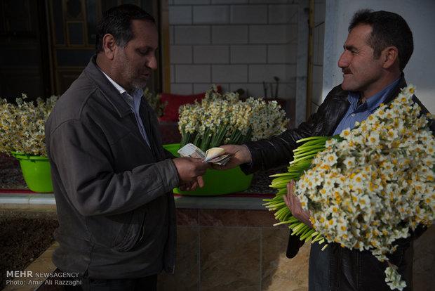 فصل نرگس در مازندران