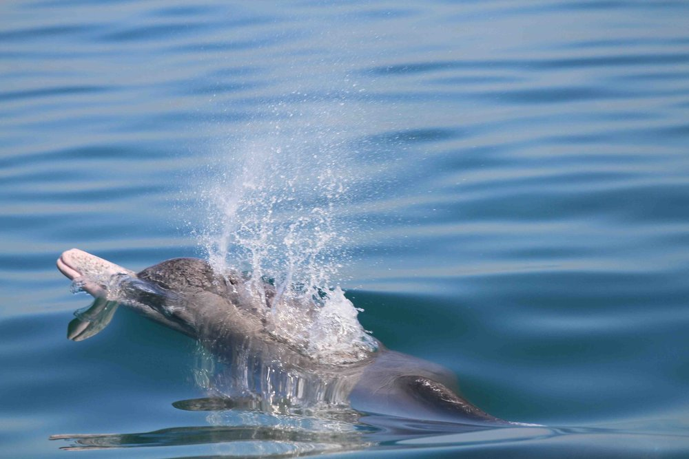 Dolphins, the most appreciated marine mammals in Persian Gulf