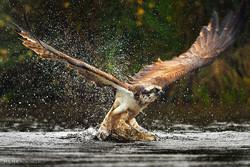شکار ماهی توسط عقاب