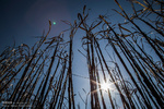 اولین نیشکر تراریخته در برزیل به زودی کشت می شود