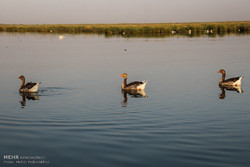 Shadegan International Wetlands, Khuzestan Province, are a series of Ramsar wetlands. The ponds and surrounding marshes are fed by the Karun River and are connected to the Persian Gulf.