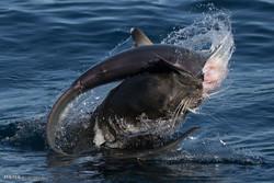 سمندری شیر کا شارک مچھلی پر حملہ