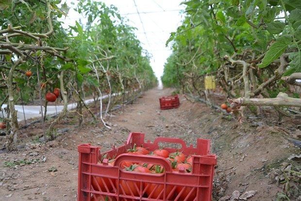 ۲۰۰۰تن محصول گلخانه ای در چهارمحال و بختیاری تولید شد