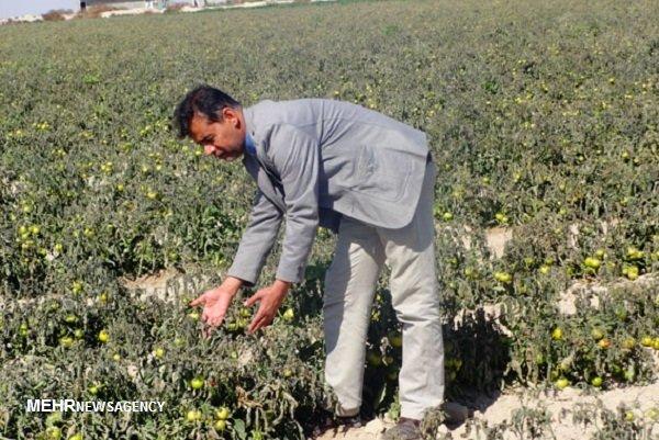 خسارت سرما به ۱۰۰۰ هکتار اراضی کشاورزی دیر/ ضرر ۲۸۰ میلیارد ریالی