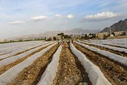 آغاز كشت محصولات كشاورزی بهاره در مزارع هشت بندی هرمزگان