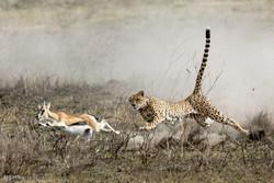 شکار غزال به دست یوزپلنگ